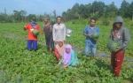 Petani di Kasongan Panen Semangka