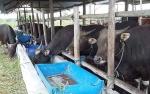 Kualitas Daging Hewan Kurban Bisa Turun Jika Stres dan Kelelahan