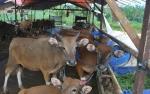 Populasi Sapi di Barito Utara Mampu Memenuhi Kebutuhan Hewan Kurban