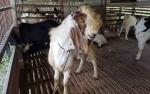 Stok kambing untuk Idul Adha di Kotawaringin Barat Mencukupi