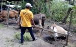 Penjualan Hewan Kurban di Kuala Pembuang Lesu