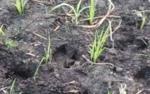 Sejumlah Sapi Ternak di Seruyan Rusak Lahan Pertanian Warga