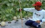 Petani di Kobar Kembangkan Melon dan Semangka dengan Sistem Tumpang Sari