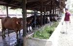 Hari Ke-2 Idul Adha, Petugas Dinas Pertanian Kapuas Masih Lakukan Pemeriksaan Hewan Kurban