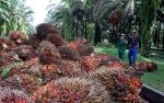Produksi di Indonesia Diprediksi Meningkat, CPO dalam Tekanan
