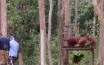 6 Orangutan Akan Kembali Memenuhi Pulau Pra-pelepasliaran