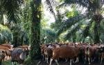 Ternak Sapi di Lahan Sawit Ampuh Kurangi Impor Daging Sapi!