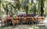 Populasi Ternak Sapi di Barito Utara Meningkat