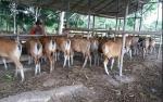 DKPP Sukamara Salurkan Bantuan 47 Ekor Sapi Bali