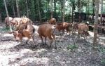 Bantuan Ternak Sapi Bali Untuk Tumbuhkan Kelompok Usaha Peternakan