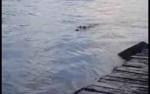 Ada Buaya, BKSDA Pangkalan Bun Imbau Warga Tetap Waspada untuk Aktivitas di Sungai Arut