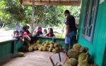 Warga Tumbang Liting Katingan Ketiban Rezeki Durian Runtuh