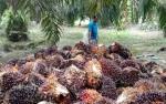 Petani Lamandau Keluhkan Rendahnya Harga Buah Kelapa Sawit