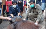 Orangutan Dewasa Hasil Rescue di Kotim akan Dilepasliarkan di TNTP