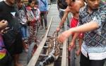 Masuk Perangkap Ikan Warga, Buaya Sapit Bakal Dirilis di Suaka Margasatwa Sungai Lamandau