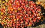 BPDP-KS Dukung Produktivitas Sawit Rakyat Via Bantuan Dana Replanting