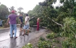 Diterjang Angin Kencang Pohon Tumbang Tutupi Jalan Trans Kalimantan Anjir Km 4