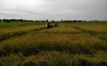 Petani Desa Sungai Damar Panen Padi Seluas 60 Hektare