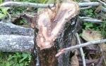 Pohon Jati Ditebang, PLN Dipolisikan