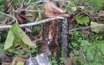 Pemilik Pohon Jati Tuntut Ganti Rugi PLN