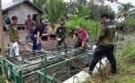 Buaya Terperangkap di Sungai Seranggas Berusia 12 Tahun