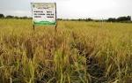 Luas Lahan Produksi di Kecamatan Jelai 800 Hektare