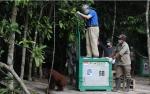 4 Orangutan Dilepasliarkan di Pulau Salat