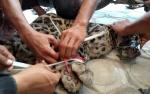 Jaring Ikan Jadi Alat Bantu Warga Tangkap Macan Dahan