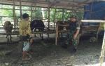 Anggota Kodim 1011 Kapuas Dampingi Petani Kembangkan Ternak Sapi
