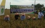 Lahan Padi Akan Dipanen Petani Desa Sei Damar Capai 46 Haktare