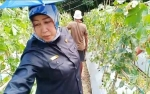 Wakil Ketua I DPRD Barito Utara Sambut Baik Inovasi Pengolahan Lahan untuk Budidaya Melon