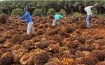 Produksi CPO Austindo Nusantara Naik 6,6% Februari