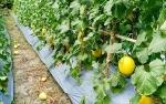Pemkab Barito Utara Berencana Tambah Luas Wilayah Tanam Melon