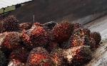 Petani Sawit di Kalteng kembali Bergairah