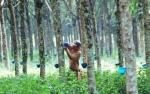 Potensi Sektor Perkebunan dan Pertanian Desa Karamuan Harus Dikembangkan