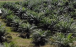 Sumatera Barat Siap Replanting 2.830 Ha Lahan Sawit Tak Produktif