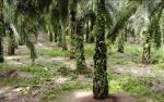 Laba Bersih Sampoerna Agro Anjlok 76,61% Kuartal I