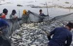 Kawasan Tambak Ikan Bandeng Marak Aksi Pencurian