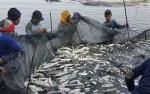 Usaha Tambak Ikan Bandeng Menjanjikan