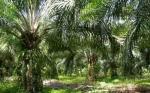 Pemkab Seruyan akan Selektif Gunakan Dana Bantuan untuk Peremajaan Kebun Kelapa Sawit