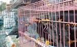 116 Ekor Burung Hasil Pengungkapan Perdagangan Satwa Dilindungi Dilepasliarkan