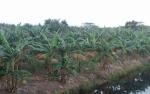 Petani Pisang Bangun Harja Beralih Tanam Gembili