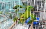 2 Tersangka Perdagangan Burung Dilindungi Terancam 5 Tahun Penjara