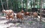 Pemkab Sukamara Akan Salurkan Bantuan 65 Ekor Sapi