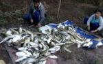 Ribuan Ikan Mengapung di Aliran Sungai Sampit Diduga Akibat Limbah