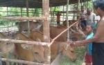 DKPP Salurkan 65 Ekor Sapi Bali untuk 9 Kelompok Ternak