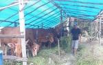 Sapi Kurban di Pangkalan Bun Didatangkan dari Jawa