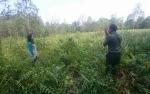 BKSDA Temukan Sarang Orang Utan Di Kebun Warga Jalan Tjilik Riwut Km 5