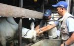 Petugas DKPP Palangka Raya Terus Lakukan Pemeriksaan Hewan Kurban