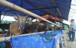 Petugas Dinas Pertanian Barito Utara Awasi Hewan Kurban